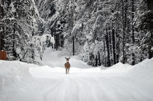 deer-1605673_1920